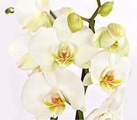 Schmetterlingsorchidee, weiß