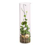 Schneckenhauspflanze 'Snaily'