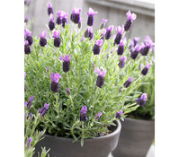 Schopf-Lavendel 'Anouk'