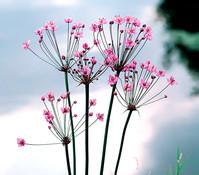 Schwanenblume - Wasserviole - Blumenbinse