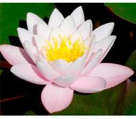 Seerose 'Marliacea Carnea'