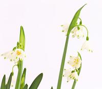 Sommer-Knotenblume - Märzenbecher