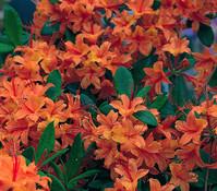 Sommergrüne Azalee