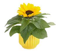 Sonnenblume, in Keramik