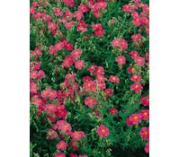 Sonnenröschen, rosa, 3er Pack