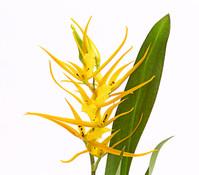Spinnenorchidee 'Orange Delight', 1 Trieber