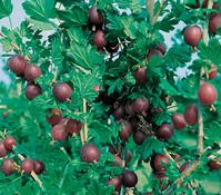 Stachelbeere 'Hinnomaeki', rot