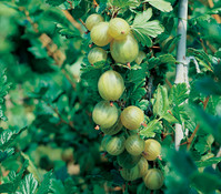 Stachelbeere 'Invicta', grün