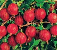 Stachelbeere 'Rokula', rot