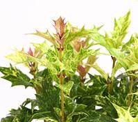 Stachelblättrige Duftblüte