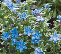 Steinsame, blau