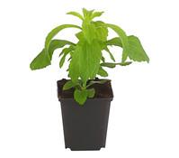 Stevia - Zuckerblatt