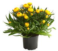 Strohblume, gelb