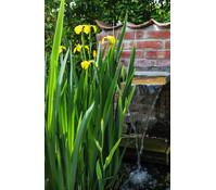 Sumpf-Schwertlilie, gelb