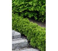 Thuja 'Little Giant' - Abendländischer Lebensbaum 'Little Giant'