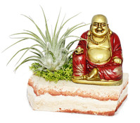 Tillandsien-Arrangement, 1 Pflanze auf Holz mit Buddha-Figur
