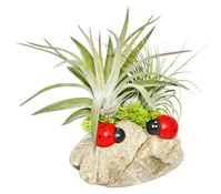 Tillandsien-Arrangement, 2 Pflanzen auf Kiesel mit Käfern