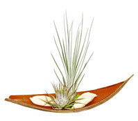 Tillandsien-Arrangement, 2 Pflanzen + Kokosblatt