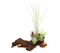 Tillandsien-Arrangement, 3 Pflanzen auf Mopaniwurzel