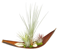 Tillandsien-Arrangement, 3 Pflanzen + Kokosblatt