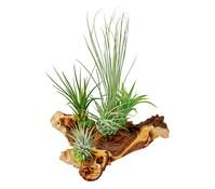 Tillandsien-Arrangement, 4 - 5 Pflanzen + Mopani-Holz