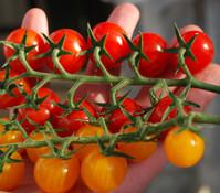 Tomaten-Duo 'Sugar & Sweet', 15 cm