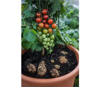 Tomatenkartoffel, TomTato®, Tomoffel