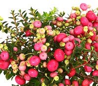 Torfmyrthe, rosa