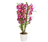 Traubenorchidee