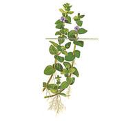 Tropica Bacopa Caroliniana, Aquarium Pflanze