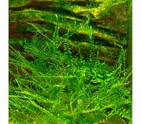Tropica Christmasmoos, Aquarium Pflanze