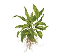 Tropica Cryptocoryne wendtii Green, Aquarium Pflanze