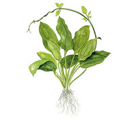 Tropica Echinodorus bleherae, Aquarium Pflanze