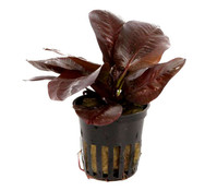 Tropica Echinodorus Reni, Aquarium Pflanze