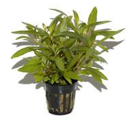 Tropica Hygrophila corymbosa, Aquarium Pflanze