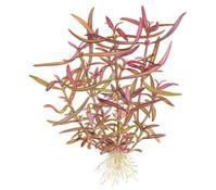 Tropica Hygrophila lancea 'Araguaia', Aquarium Pflanze