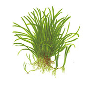 Tropica Lilaeopsis brasiliensis, Aquarium Pflanze