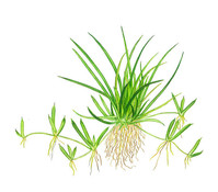 Tropica Littorelle uniflora, Aquarium Pflanze