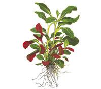 Tropica Lobelia Cardinalis Aquarium Pflanze