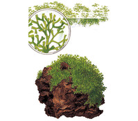 Tropica Riccia fluitans, Aquarium Pflanze