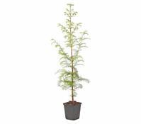 Urweltmammutbaum - Chinesisches Rotholz