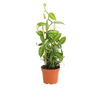 Vanille-Orchidee