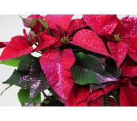 Weihnachtsstern, mit violettem Glitter