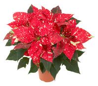 Weihnachtsstern 'Primero Glitter', creme-rot, marmoriert, Busch