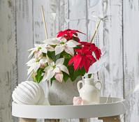Weihnachtsstern 'Princettia'®, Twin