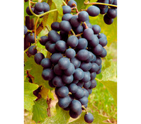 Wein 'Muscat Bleu'