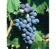 Wein 'Regent'
