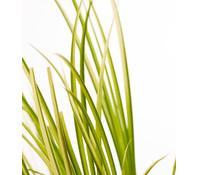 Weißgestreifter Kalmus 'Ogon' - Grasartiger Garten-Kalmus 'Ogon'