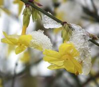 Winter-Jasmin