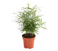 Zierspargel - Asparagus Mix